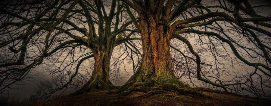Foto af to kæmpetræer uden blade